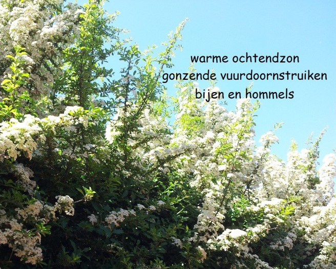 warme ochtendzon / gonzende vuurdoornstruiken / bijen en hommels