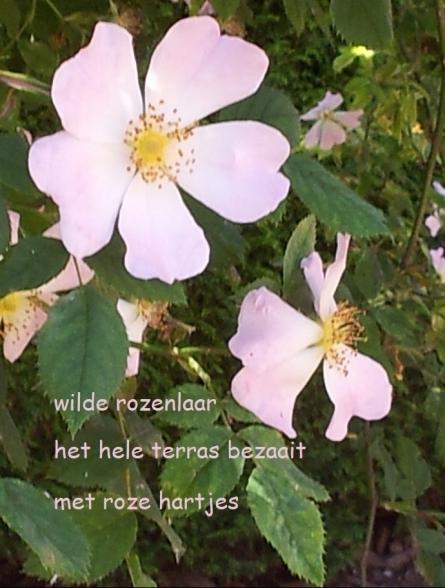 wilde rozenlaar / het hele terras bezaait / met roze hartjes