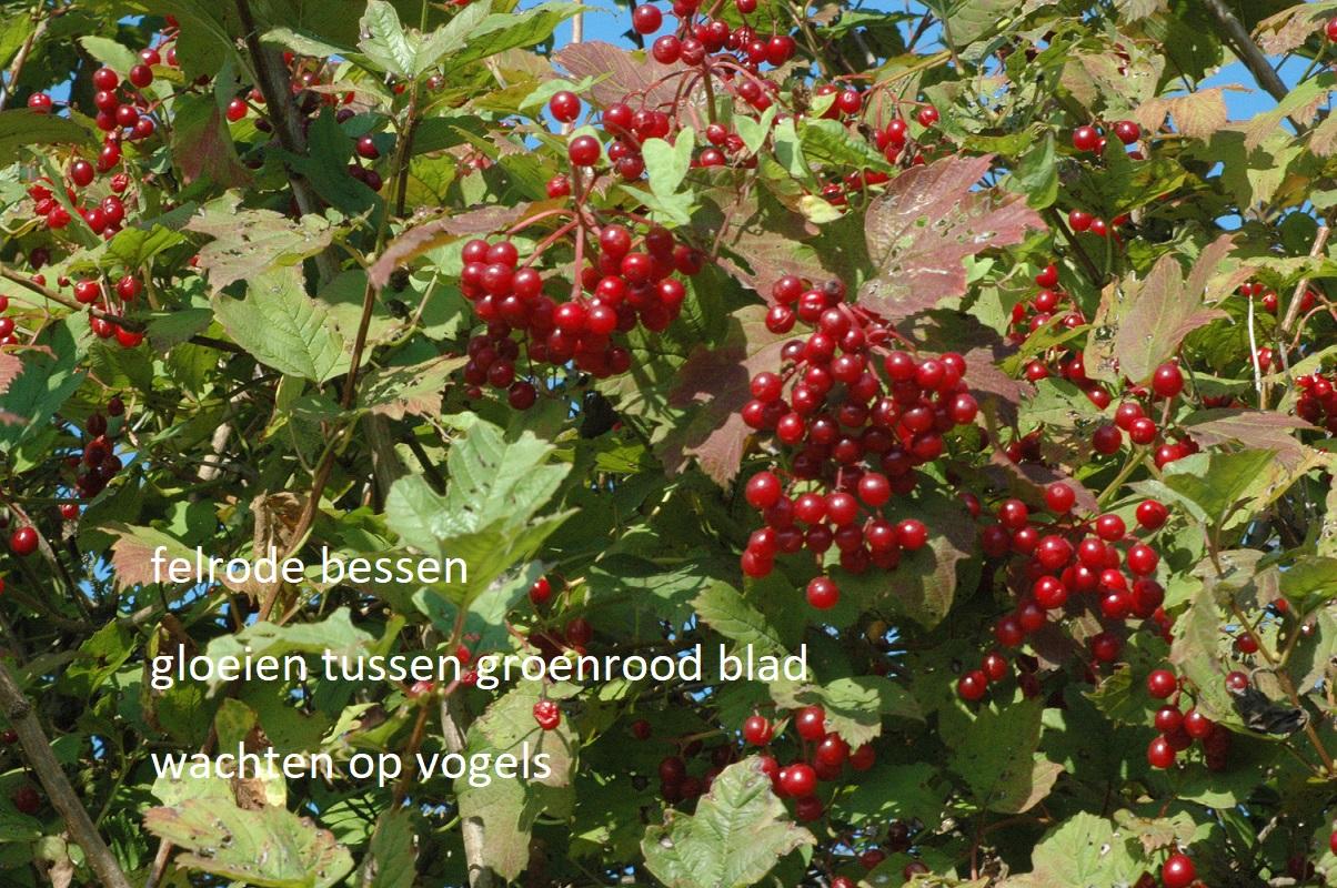 felrode bessen / gloeien tussen groenrood blad / wachten op vogels