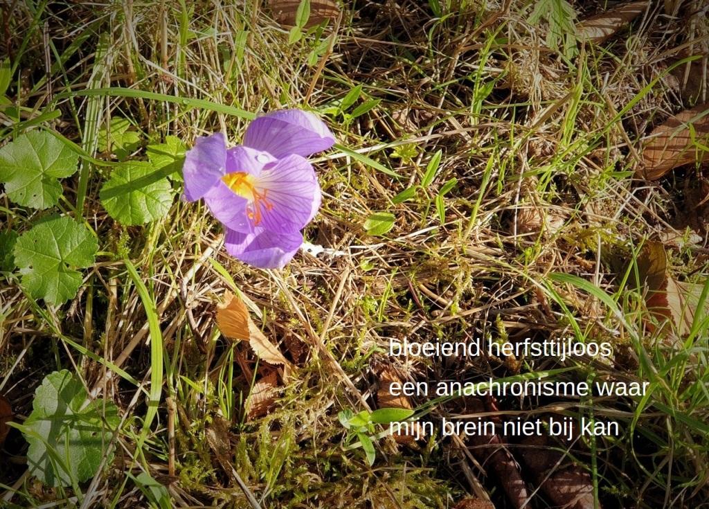 bloeiend herfsttijloos,  een anachronisme waar  mijn brein niet bij kan