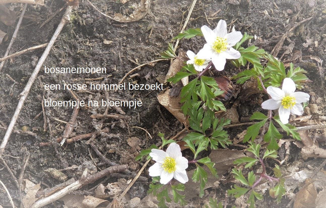 bosanemonen / een rosse hommel bezoekt / bloempje na bloempje